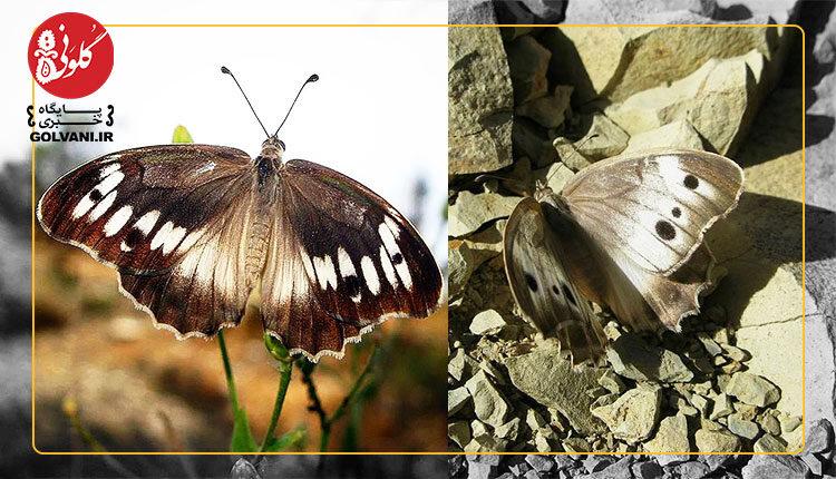 کشف یک پروانه جدید در لرستان