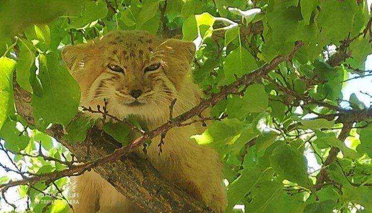 مشاهده گربه پالاس و مستند سازی از حضور این گونه نادر و کمیاب
