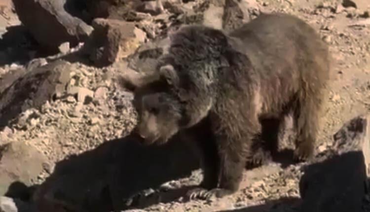 حضور خرس قهوه ای در قله سبلان در کنار کوهنوردان