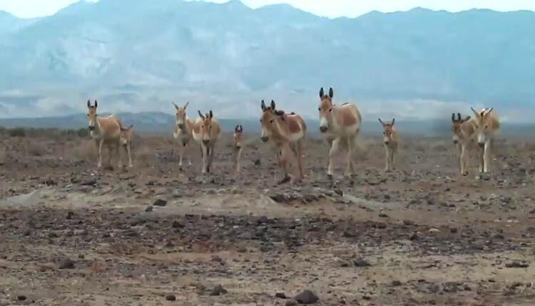 گور و جبیر پارک ملی کویر درکنار هم زیست میکنند