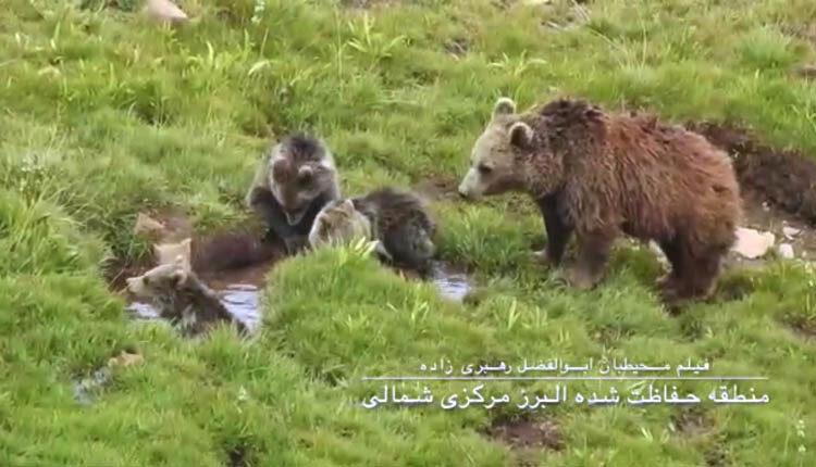 تصاویری از خرس مادر و توله هایش در البرز مرکزی شمالی
