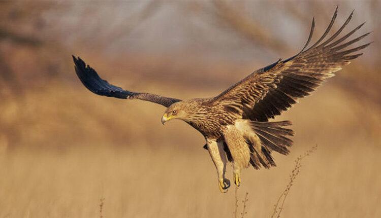 عقاب شاهی