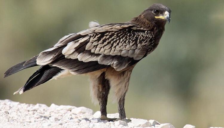 عقاب خالدار بزرگ یا عقاب تالابی