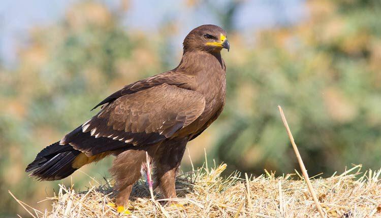عقاب خالدار کوچک یا عقاب جنگلی