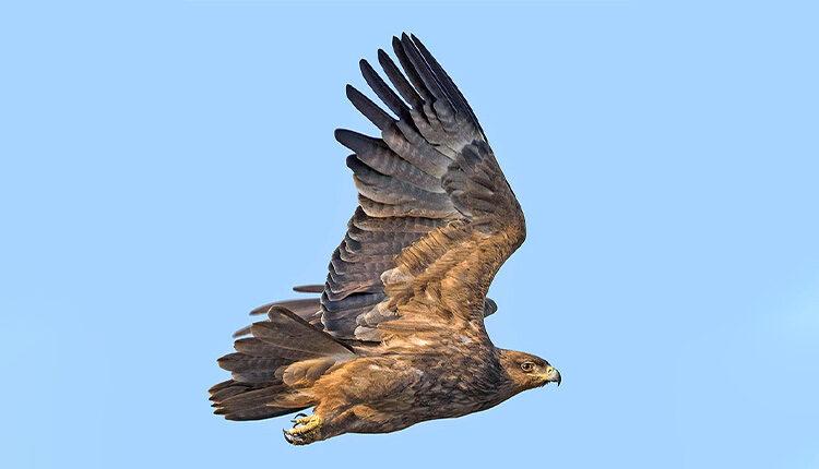عقاب دشتی
