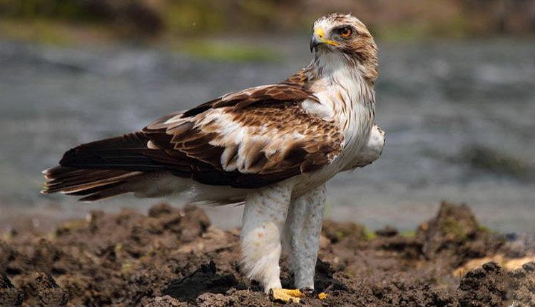 عقاب پر پا