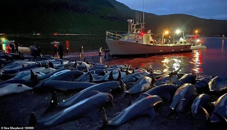 سلاخی ۱۵۰۰ دلفین در جزیره فارو: آیین سنتی یا شکنجه؟