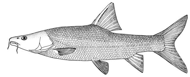 تصویر شماتیک ماهی سونگ