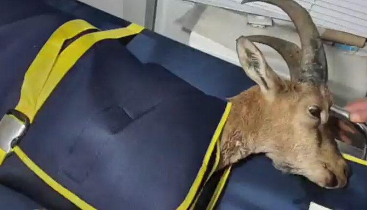 محیط بانان البرز کل وحشی را نجات دادند